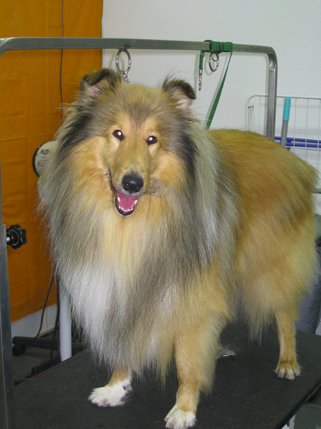 Hundesalon Styling Murten - Zwerg Collie